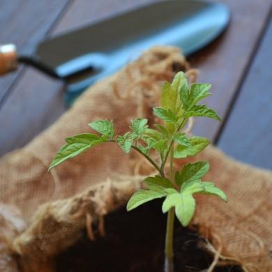 Piantina biologica di pomodoro san marzano